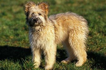 比利牛斯牧羊犬