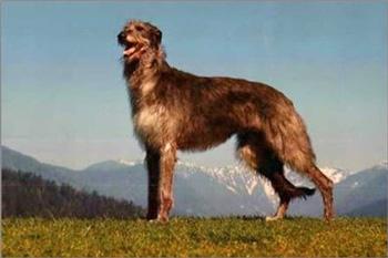 苏格兰猎鹿犬