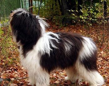 波兰低地牧羊犬