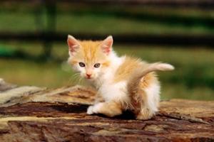七个月小猫发情怎么办