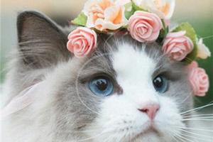 布偶猫为什么要绝育 布偶猫绝育的原因