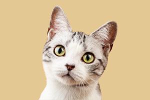 美国短毛猫怎么喂养