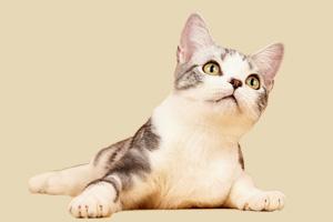 美国短毛猫吃什么