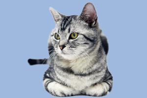美国短毛猫怎么养